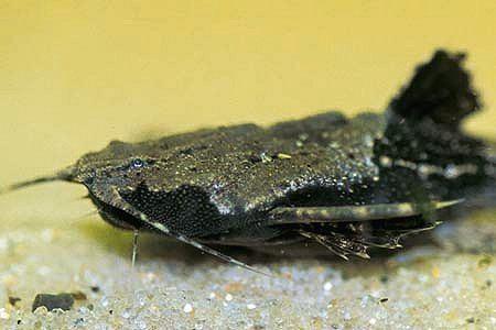 Bunocephalus Bunocephalus coracoideus