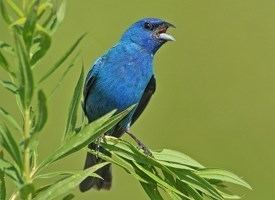 Bunting (bird) Indigo Bunting Identification All About Birds Cornell Lab of