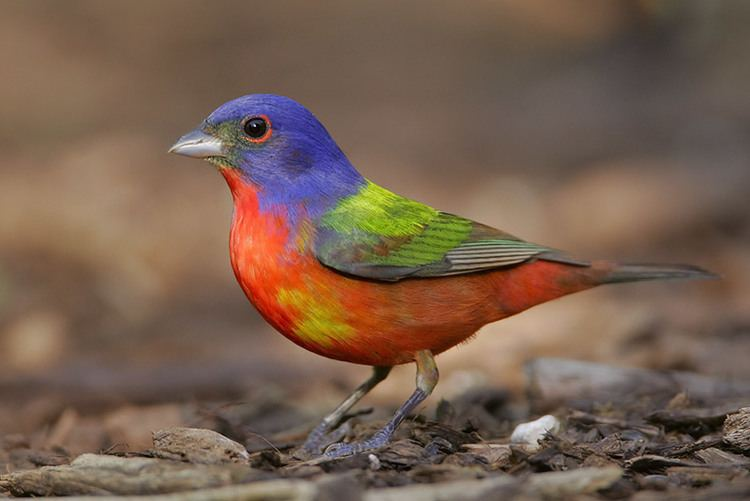 Bunting (bird) The Rainbow Bird Who Doesn39t Love a Painted Bunting 08142012