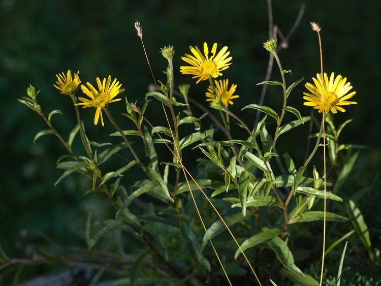 Buphthalmum FileRindsauge Buphthalmum salicifolium Grner Ups Ehrwald002jpg
