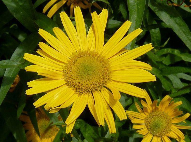 Buphthalmum Buphthalmum salicifolium Hortipedia