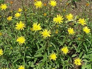Buphthalmum 1000 ideas about Buphthalmum Salicifolium on Pinterest Shade