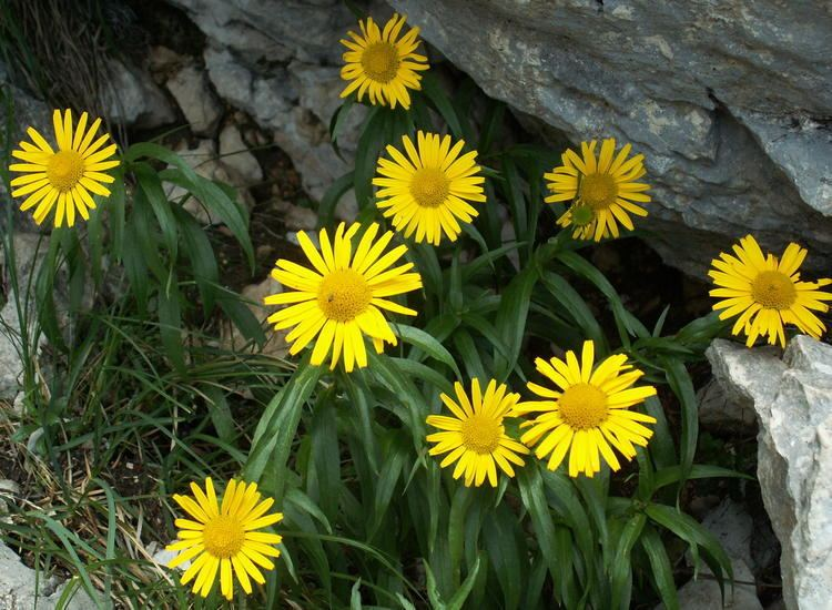 Buphthalmum FileBuphthalmum salicifolium1jpg Wikimedia Commons