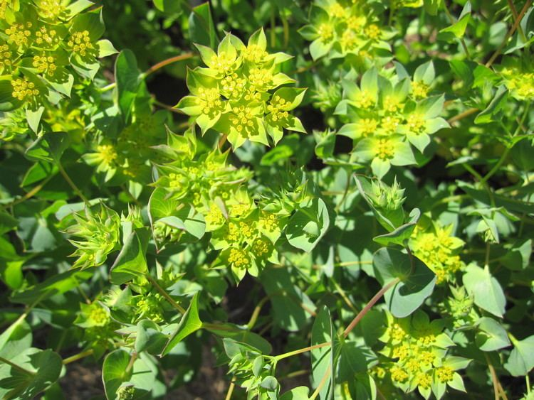 Bupleurum Full Circle Seeds Bupleurum