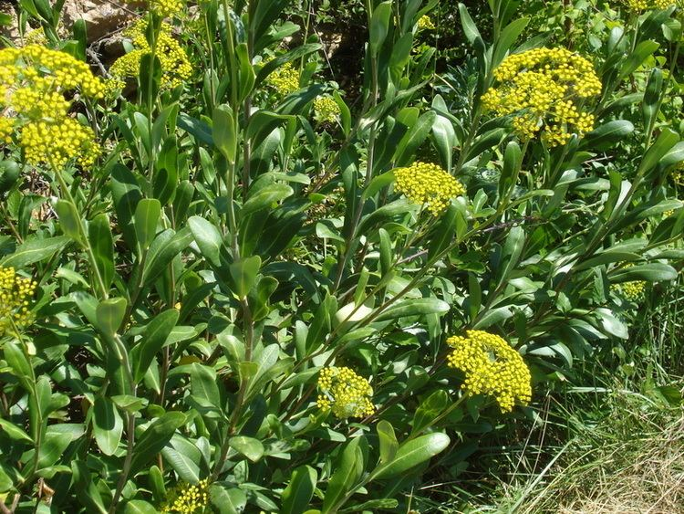Bupleurum chinense Bupleurum Bupleurum Chinense Overview Health Benefits Side