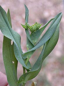 Bupleurum lancifolium httpsuploadwikimediaorgwikipediacommonsthu