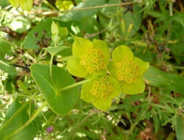 Bupleurum lancifolium Flore de La Rochelle