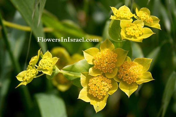 Bupleurum lancifolium Bupleurum lancifolium