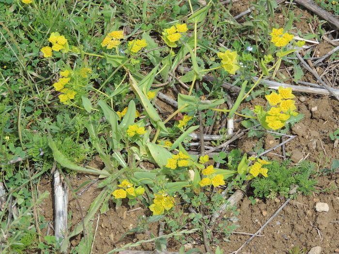Bupleurum lancifolium Bupleurum lancifolium Hornem