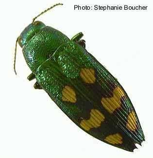 Buprestidae Canadian Biodiversity Species Insects Metallic WoodBoring Beetles