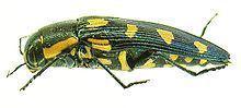 Buprestoidea httpsuploadwikimediaorgwikipediacommonsthu