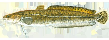 Burbot Fishing and Boating Resources How to start fishing today Take Me