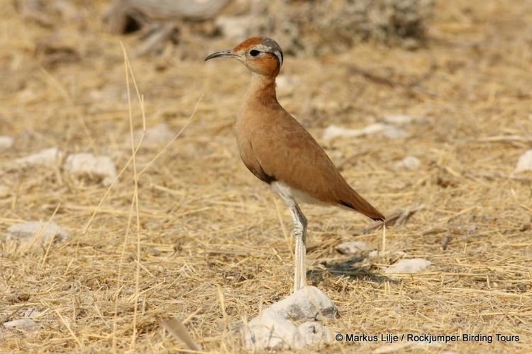 Burchell's courser Burchell39s Courser Cursorius rufus videos photos and sound