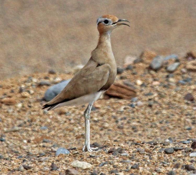 Burchell's courser Birds of The World SHOREBIRDS