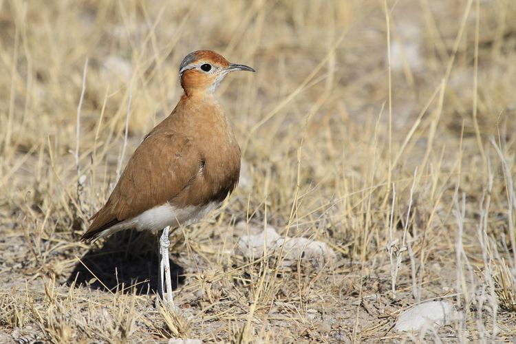 Burchell's courser Burchell39s Courser Bird amp Wildlife Photography by Richard and