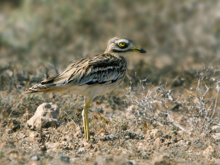 Burhinus FileBurhinus oedicnemus insularum Lanzarote 2jpg Wikimedia Commons