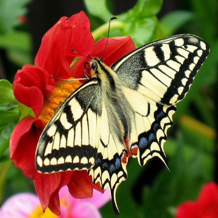 Butterfly httpsuploadwikimediaorgwikipediacommons33