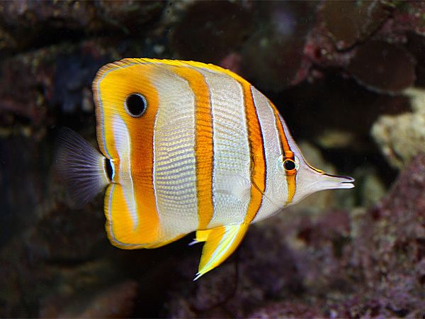 Butterflyfish Butterflyfish Care Guide Fishkeeping Advice