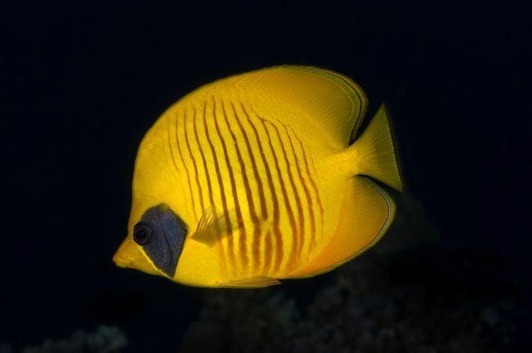 Butterflyfish yourshotnationalgeographiccomussfQYSUbVftsT7
