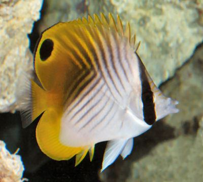 Butterflyfish Threadfin Butterflyfish Chaetodon auriga Auriga Butterflyfish