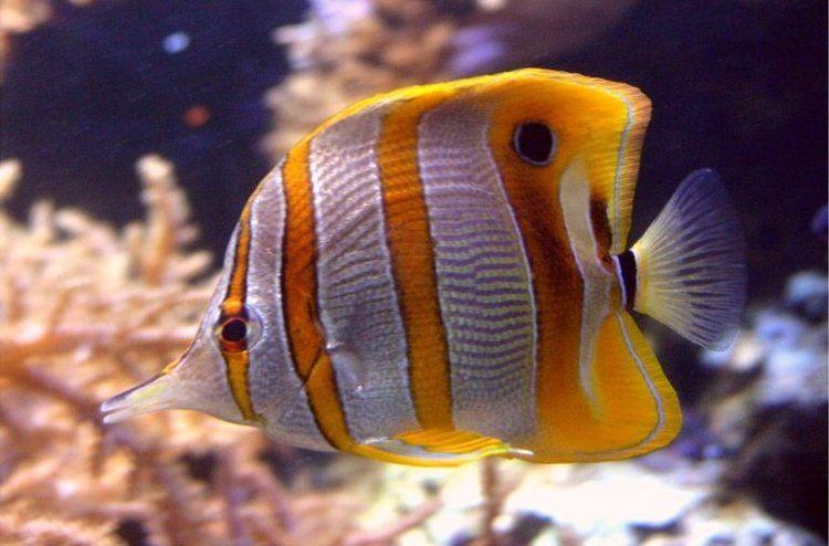 Butterflyfish Butterfly Fish Chaetodontidae Animals AZ Animals