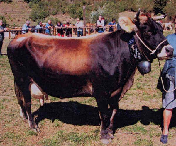 Cabannina Italian breeds of cattle Cabannina