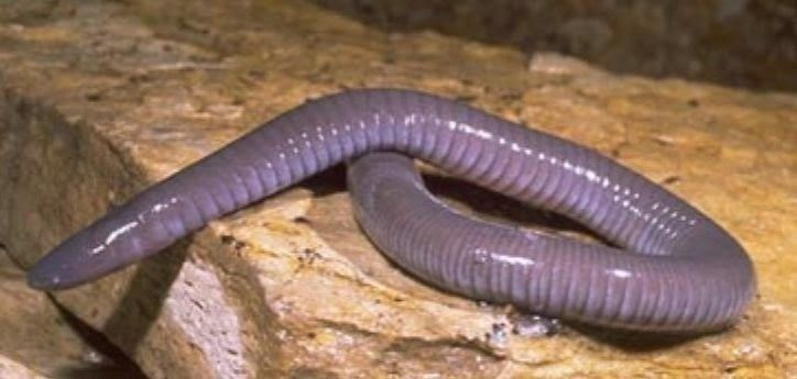 Caecilian 9 Weird and Interesting Facts about Caecilians Strange Animals