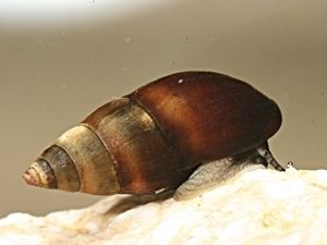 Caenogastropoda Snails and Slugs Gastropoda