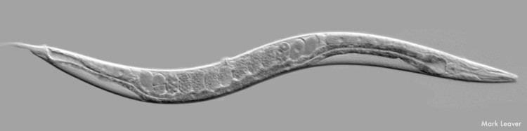 Caenorhabditis elegans Celegans