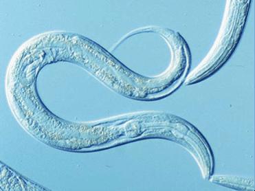 Caenorhabditis elegans Caenorhabditis elegans Deretil Nature