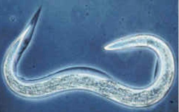 Caenorhabditis elegans Molecular and Cellular Neuroscience at MIT