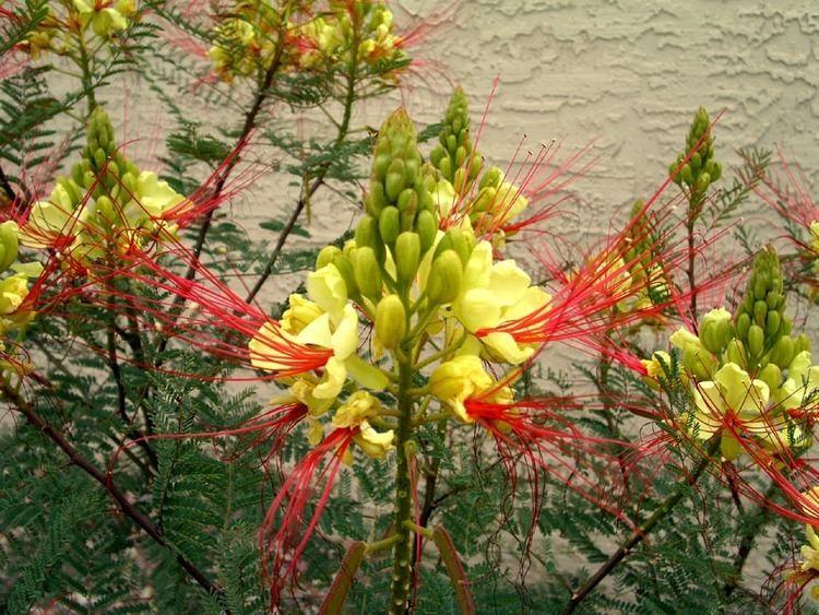 Caesalpinia Caesalpinia gilliesii flowersjpg