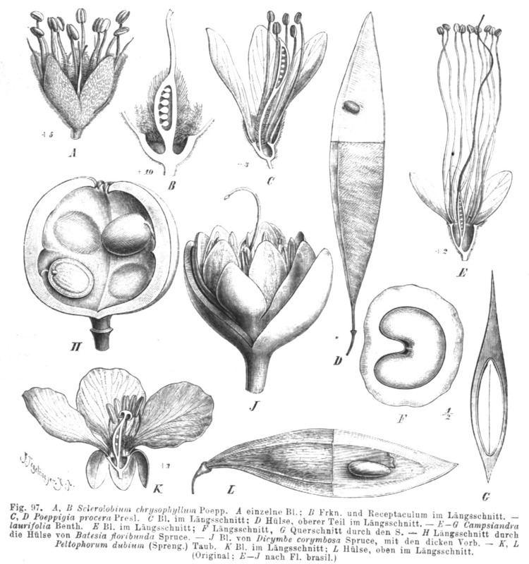 Caesalpinioideae Johannisbrotgewchse Wikiwand