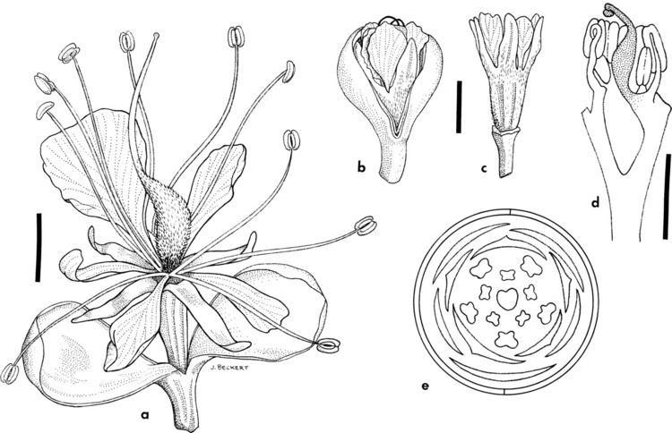 Caesalpinioideae Comparative floral ontogeny in Detarieae Leguminosae