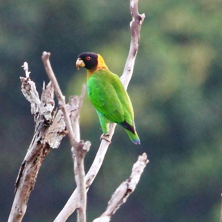 Caica parrot httpsuploadwikimediaorgwikipediacommons22