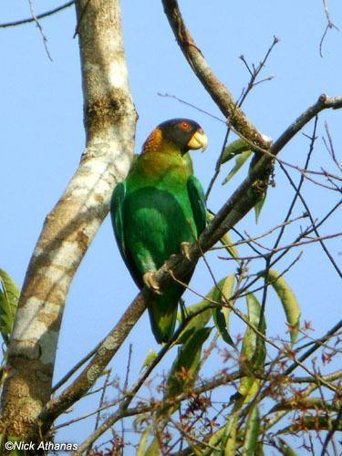 Caica parrot Caica Parrot Pyrilia caica xenocanto