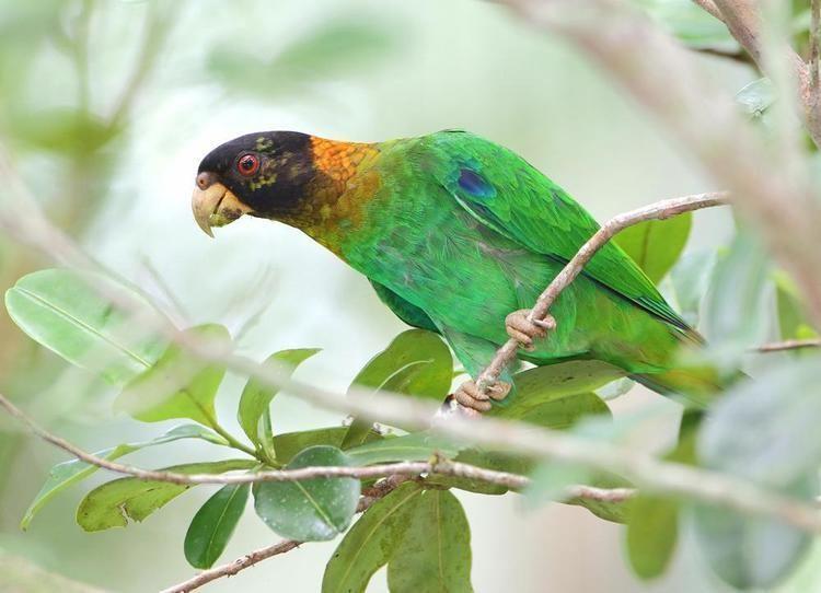 Caica parrot Caica Parrot Pyrilia caica videos photos and sound recordings