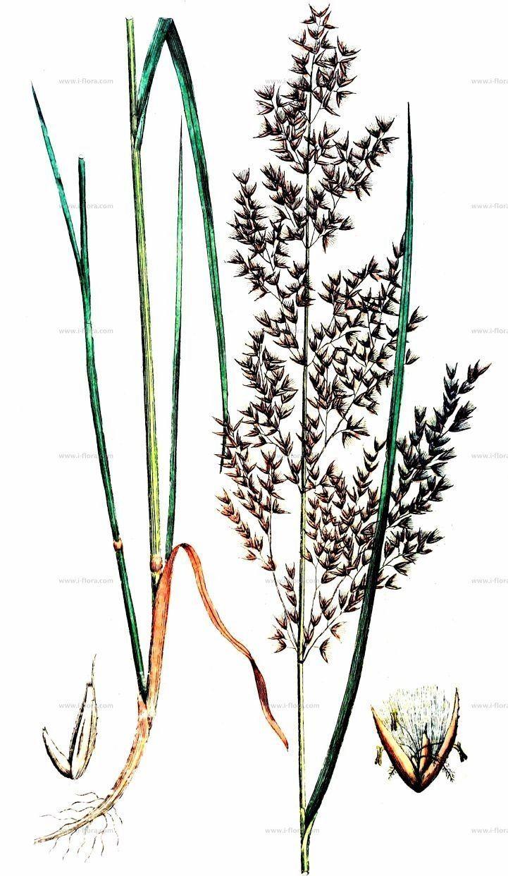 Calamagrostis villosa wwwifloracomfileadminwebsitedatentaxfotos
