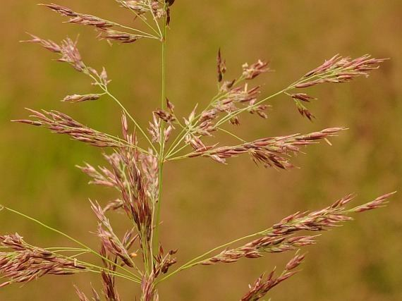 Calamagrostis villosa BOTANYcz CALAMAGROSTIS VILLOSA Chaix J F Gmel ttina