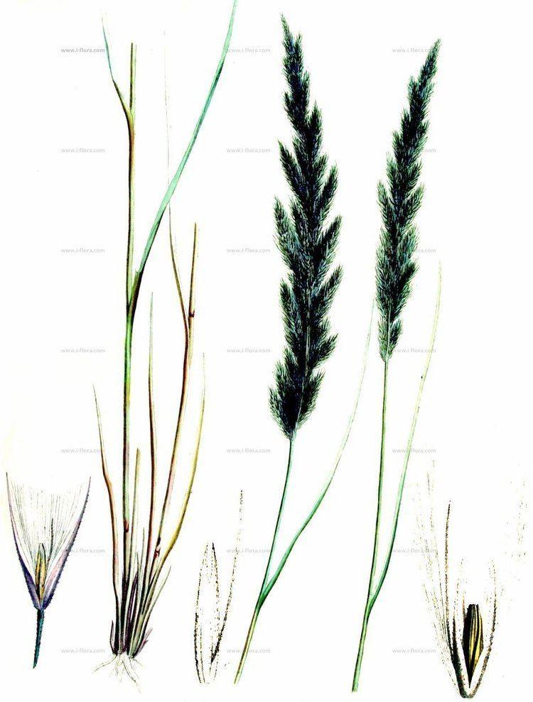 Calamagrostis villosa Stammbaum Wolliges Reitgras Calamagrostis villosa Chaix ex Vill