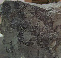 Calamitaceae httpsuploadwikimediaorgwikipediacommonsthu