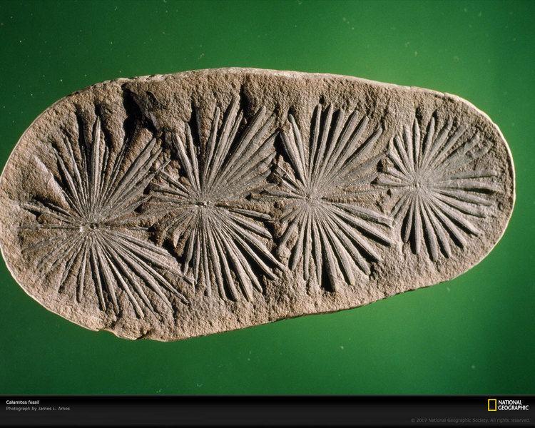 Calamites Calamites Fossil