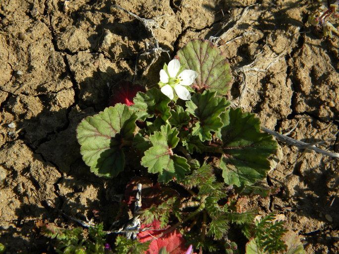 California macrophylla CalPhotos California macrophylla