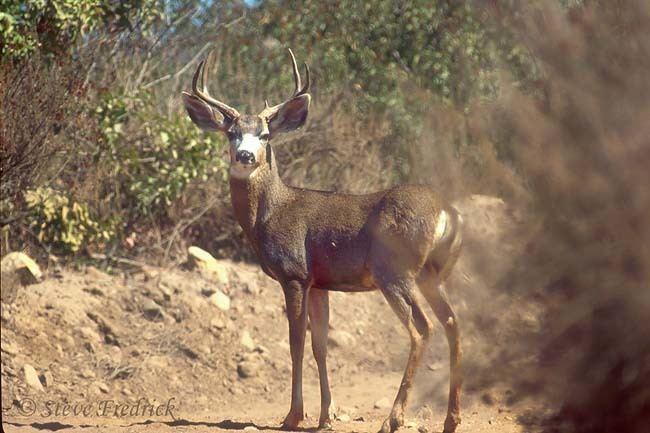 California mule deer - Alchetron, The Free Social Encyclopedia