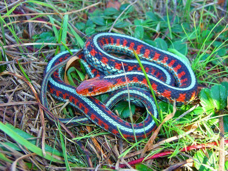 California red sided garter snake - Alchetron, the free