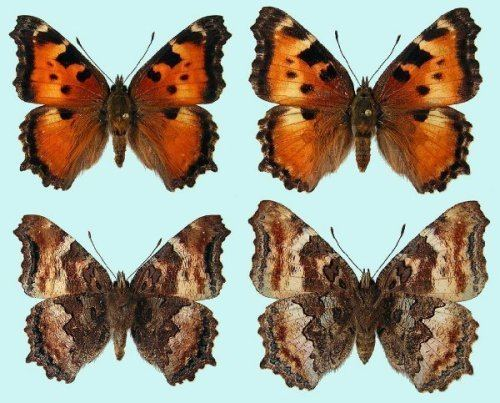 California tortoiseshell California Tortoiseshell Raising ButterfliesHow to find and care