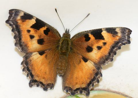 California tortoiseshell California Tortoiseshell Butterfly Nymphalis californica