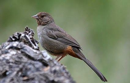 California towhee California Towhee Identification All About Birds Cornell Lab of