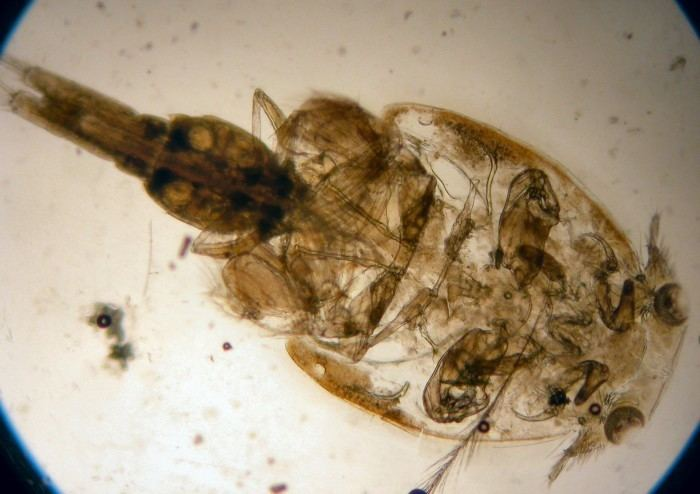 Caligus The World of Copepods