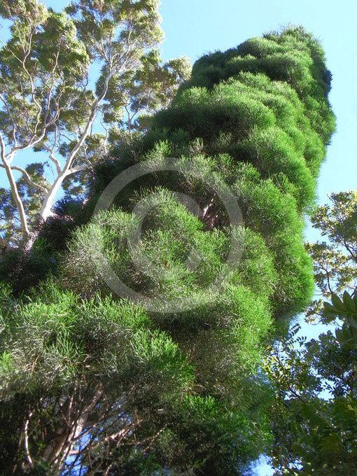 Callitris baileyi Callitris baileyi Bailey39s Cypress Pine information amp photos